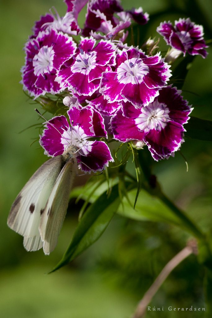 Close up on a white butterfly foraging in purple Sweet William flowers.