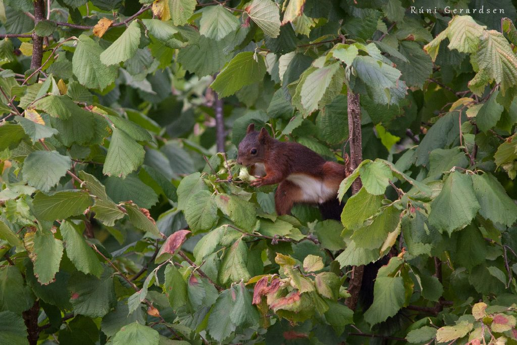 A red squirrel foraging nuts in a tree